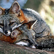 Grey Foxes Poster