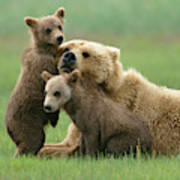 Grizzly Cubs Play With Mom Poster