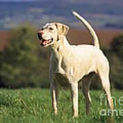 Harrier Dog Poster