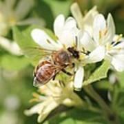 Honeybee And Honeysuckle Poster