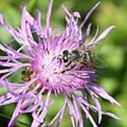 Honeybee On Ironweed Poster