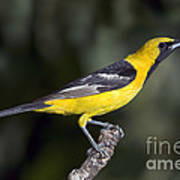 Hooded Oriole Male Poster