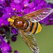 Hornet Mimic Hoverfly Poster by Science Photo Library