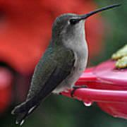 Hummingbird Anna's On Perch Poster
