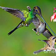 Hummingbirds At Feeder Poster