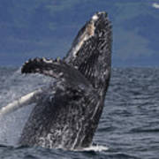 Humpback Whale Breaching Prince William Poster