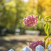 Hydrangeas In The Autumn Sun Poster