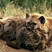 Hyene Tachetee Crocuta Crocuta Poster