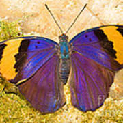 Indian Leaf Butterfly Poster