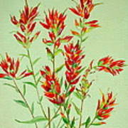 Indian Paintbrush Poster