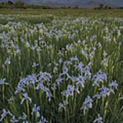 Iris Field Poster