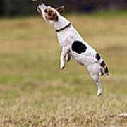 Jack Russell Jumping For Ball Poster
