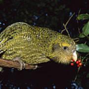 Kakapo Feeding On Supplejack Berries Poster