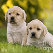 Labrador Puppies Poster