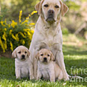 Labrador With Two Puppies Poster