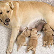 Labrador With Young Puppies Poster