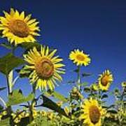 Laval, Quebec, Canada Sunflowers Poster