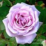 Lavendar Rose Poster