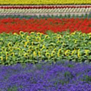 Lavender Farm, Furano, Hokkaido Poster