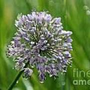 Lavender Globe Lily Poster