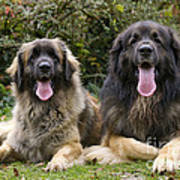 Leonberger Dogs Poster