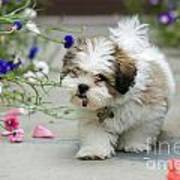 Lhasa Apso Puppy Poster