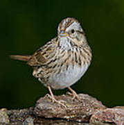 Lincoln Sparrow Poster