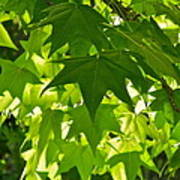 Liquidambar Tree In The Morning Sun Poster