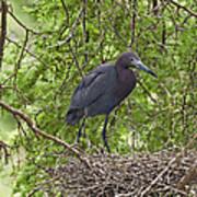 Little Blue Heron Nesting Texas Poster