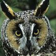 Long-eared Owl Up Close Poster