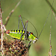 Long-horned Katydid Tettigonid Poster