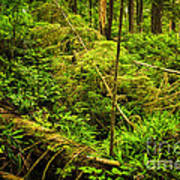 Lush Temperate Rainforest Poster