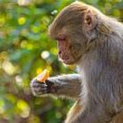 Macaque Eating An Orange Poster