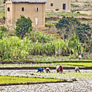 Madagascan Paddyfield Poster