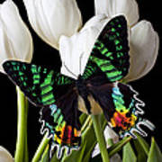 Madagascar Butterfly Poster