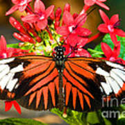 Madeira Butterfly Poster