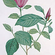 Magnolia Discolor, Engraved By Legrand Poster