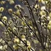 male catkins of willow species in the National Park Dwingelderveld Netherlands Poster