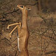 Male Gerenuk Poster