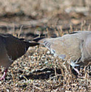 Male White Wing Doves Poster