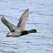 Mallard Duck In Flight Poster