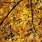 Maple Tree In Yellow Fall Colors Poster