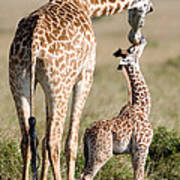 Masai Giraffe Giraffa Camelopardalis Poster