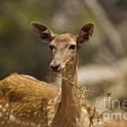 Mesopotamian Fallow Deer 3 Poster