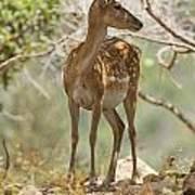 Mesopotamian Fallow Deer 5 Poster