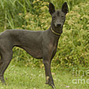 Mexican Hairless Dog Poster