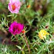 Mixed Portulaca Poster