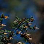 Monarch Butterflies Poster