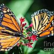 Monarch Danaus Plexippus Poster