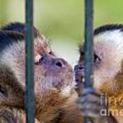 Monkey Species Cebus Apella Behind Bars Poster